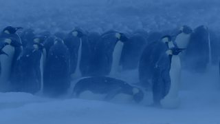 BBC One - Dynasties - The end of the polar night