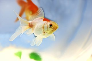 iasc órga - goldfish