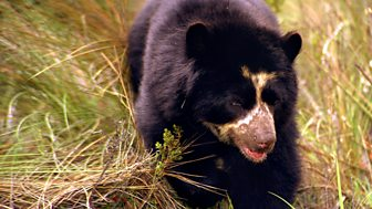Natural World - 2007-2008: 15. Spectacled Bears - Shadows Of The Forest