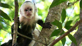 Natural World - 2008-2009: 3. Clever Monkeys
