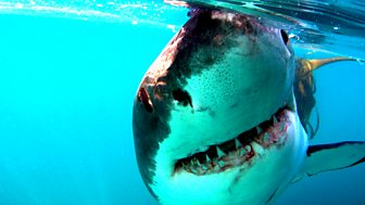 Natural World - 2008-2009: 6. Great White Shark - A Living Legend