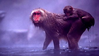Natural World - 2008-2009: 12. Snow Monkeys