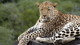 Natural World - 2009-2010: 9. The Secret Leopards