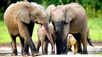 Natural World - 2009-2010: 14. Forest Elephants - Rumbles In The Jungle