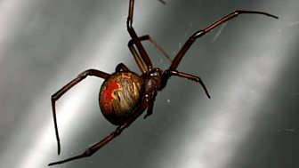 Deadly 60 Bites - Series 1: 11. Redback Spider