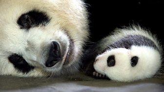 Natural World - 2010-2011: 7. Panda Makers