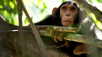 Natural World - 2010-2011 - Chimps Of The Lost Gorge