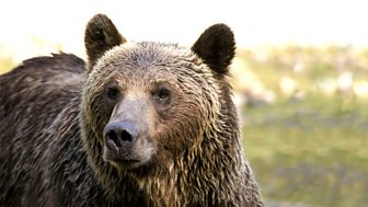 Natural World - 2010-2011: 14. The Last Grizzly Of Paradise Valley