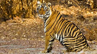 Natural World - 2011-2012: 8. Tiger Dynasty