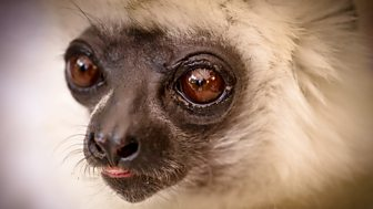 Natural World - 2011-2012: 10. Madagascar, Lemurs And Spies