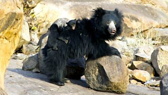 Natural World - 2011-2012: 13. The Real Jungle Book Bear