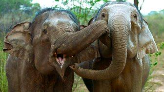 Natural World - 2013-2014 - Sri Lanka: Elephant Island