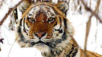 Operation Snow Tiger