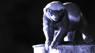 Natural World - 2014-2015 - Honey Badgers: Masters Of Mayhem