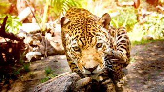 The Wonder Of Animals - Big Cats