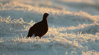 Winterwatch Unsprung - 2015: Episode 4