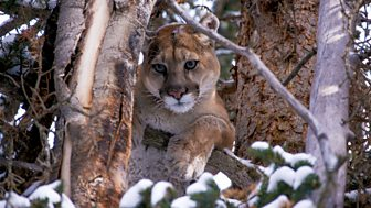 Natural World - 2015-2016: 7. Mountain Lions: Big Cats In High Places