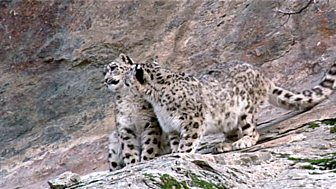 Natural World - 2007-2008: 1. Snow Leopard - Beyond The Myth