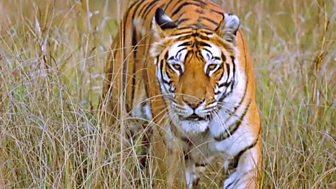 Natural World - 2007-2008: 4. Tiger Kill