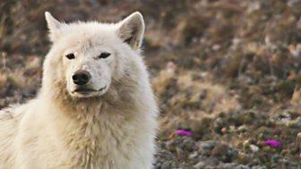 Natural World - 2007-2008: 5. White Falcon, White Wolf