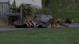 Natural World - 2007-2008: 7. Badgers - Secrets Of The Sett