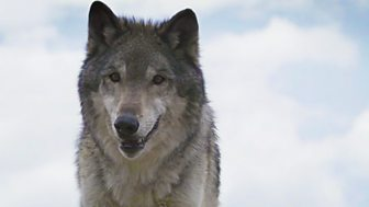 Natural World - 2007-2008: 9. Lobo: The Wolf That Changed America