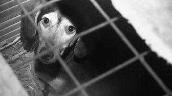 Panorama - Britain's Puppy Dealers Exposed