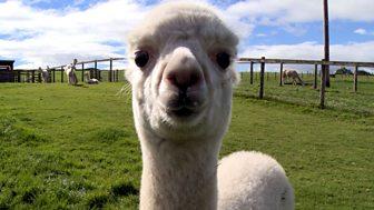The Farmers' Country Showdown - Series 1: 11. Alpacas