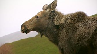 Natural World - 2007-2008: 10. Moose In The Glen