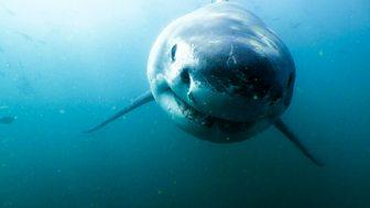 Shark Bites - Series 1: 2. Great White Shark