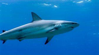 Shark Bites - Series 1: 19. Caribbean Reef Shark