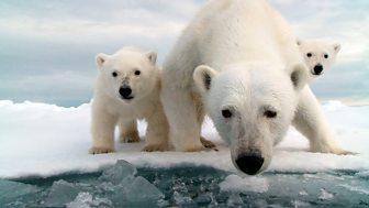 Snow Bears - Episode 03-01-2018