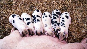 The Farmers' Country Showdown - Series 2: 5. Edenbridge Pigs