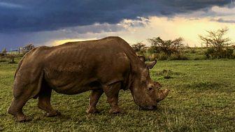 Natural World - 2017-2018: 6. Sudan: The Last Of The Rhinos
