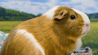 Animal Tv - Series 1: 3. The Great Guinea Pig Brother Scandal