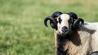 The Farmers' Country Showdown - Series 2 30-minute Versions: 11. Sheep