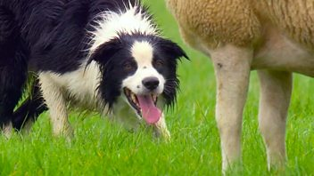 Programme image from Countryfile: One Man and His Dog