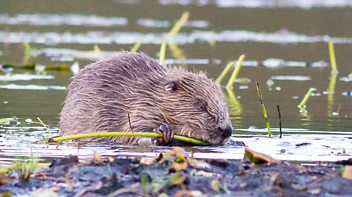 Programme image from Witness History: The return of the beaver