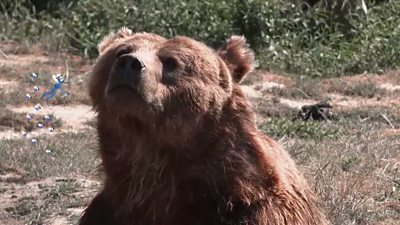 A screengrab of a brown bear from How do different animals smell video