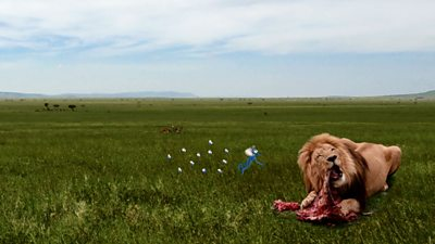 An image of animated flies hovering around a lion that is eating a carcass