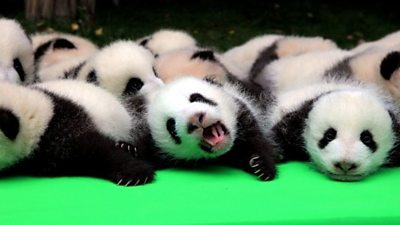 How Many Baby Pandas Can You Count Bbc News