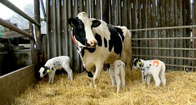Triplets born on Kent dairy farm