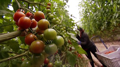 Tomatoes being grown in Spain