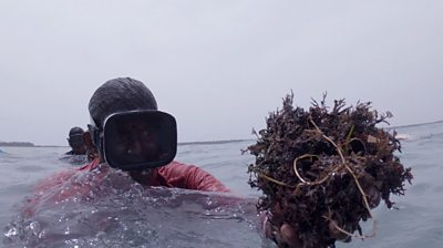 A woman collecting seaweed
