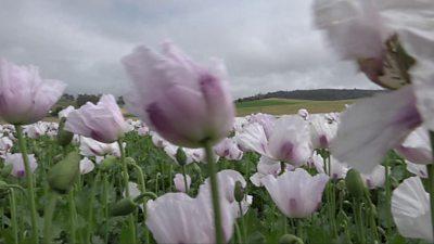 A poppy farm in Tasmania