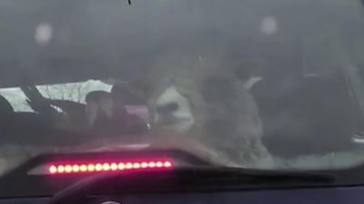 A sheep and parrot peering through the rear window of a Vauxhall Zafira gave a Manchester a driver a shock.