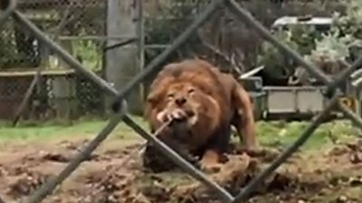 Jasiri the lion with meat attached to a rope in its mouth