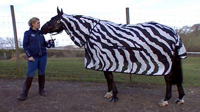 Horse wearing zebra coat with trainer