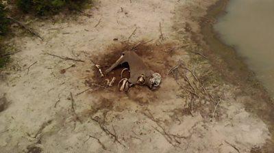 An elephant carcass