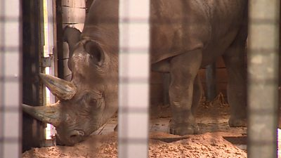 Zoo welcomes endangered rhino
